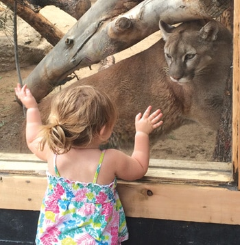 Mountain Lions at Big Bear Alpine Zoo