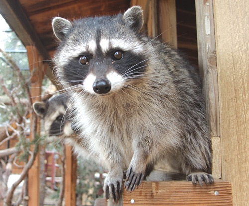 Raccoon Saloon at Big Bear Alpine Zoo
