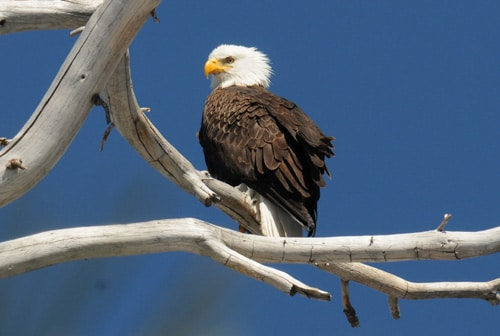 Bald eagle count at Big Bear Discovery Center