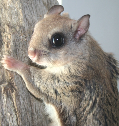 Rare San Bernardino Flying Squirrels at Big Bear Alpine Zoo