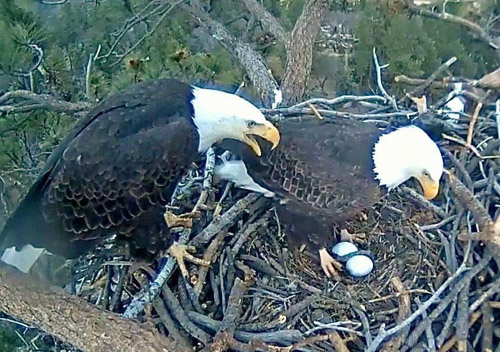 Bald Eagle Eggs Set to Hatch for February 10 Big Bear Count