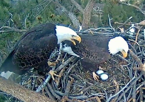 Bald eagle nest in Big Bear